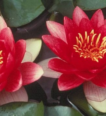 Nymphaea Radiant Red-barerooted
