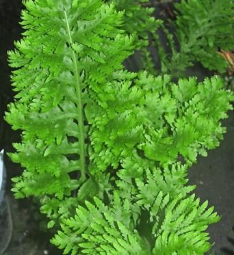 Polypodium Cambricum Pulchritude-9 cm pot