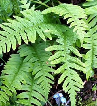 Polypodium Vulgare-9 cm pots