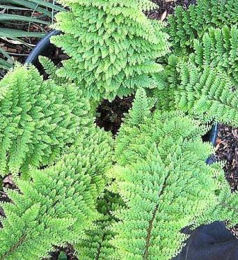 Polystichum Setiferum Plumosum-9 cm pots
