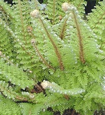 Polystichum Setiferum Plumosum Densum-9 cm pot