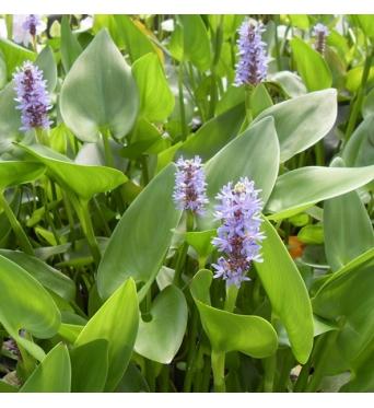 Pontederia Cordata blue-barerooted