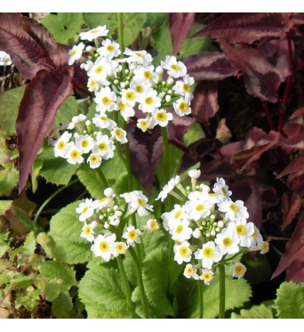 Primula Japonica Alba-large plug plants