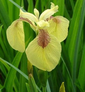 Iris Pseudacorus Kelis Choice-barerooted