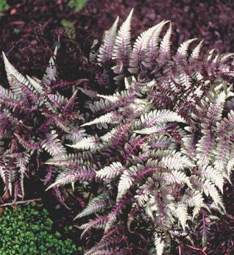 Athyrium Niponicum Ursulas Red-9 cm pots