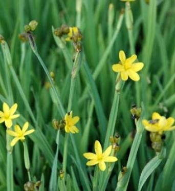 Sisyrinchium Californicum-7 cm pots