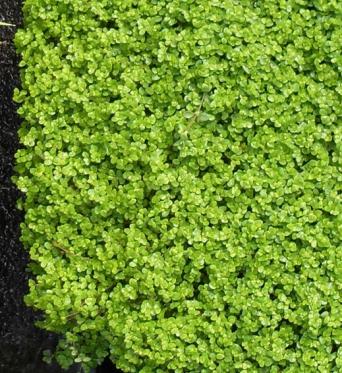 Soleirolia Soleirolii-7 cm pots