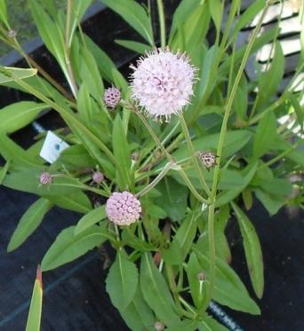 Succisa Pratensis Peddars Pink-9 cm pots